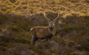 Assynt Stag