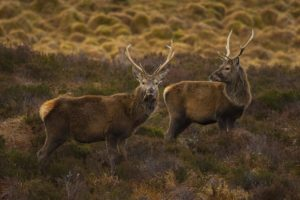 Assynt stags
