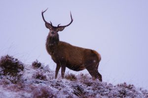 Large stag on a hill in Scottish Highlands
